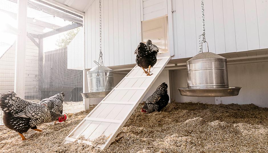 Silver Laced Wyandotte chicken walking up the Mansion chicken coop ramp