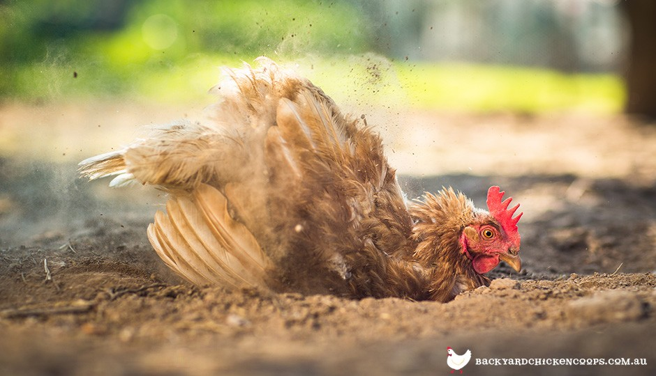 Top Tips For Keeping Healthy Chickens - Backyard poultry information centre australia