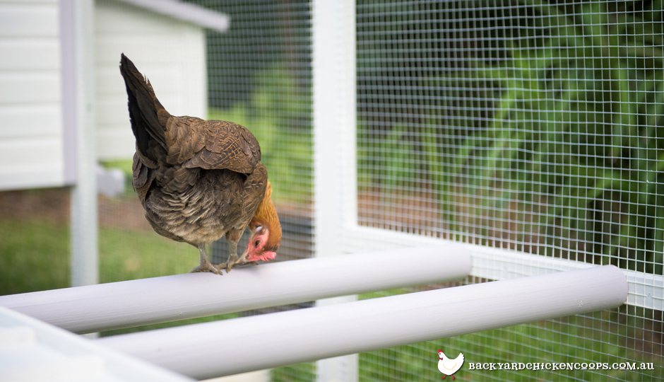 chicken-on-chicken-coop-perches