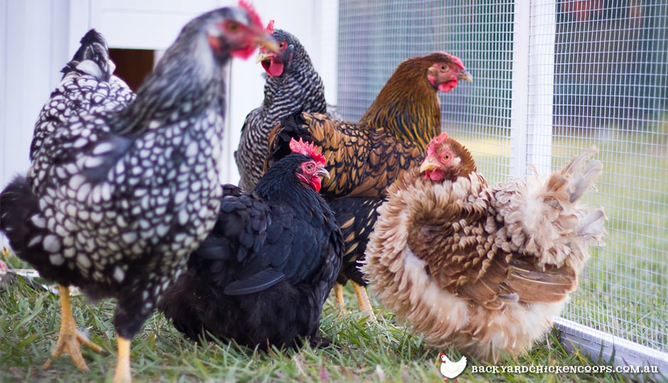 Different breeds of chickens: frizzle, australorp, wyandotte