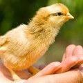 yellow-baby-chick-in-hands