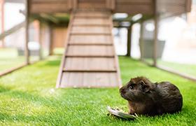 Guinea pig in piggy paradise enclosure