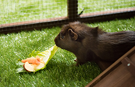 Guinea pig in piggy parlour enclosure