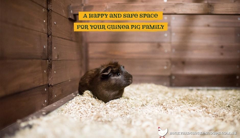 Guinea pig near Piggy Paradise guinea pig enclosure ramp
