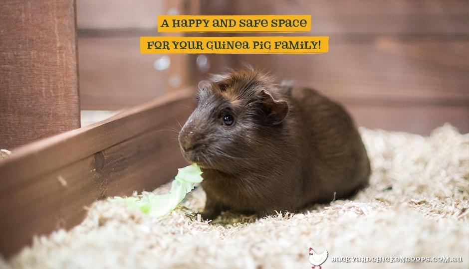 Guinea pig inside Piggy Parlour guinea pig enclosure