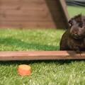 Guinea pig in piggy pen enclosure