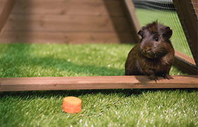Guinea pig in piggy pen enclosure