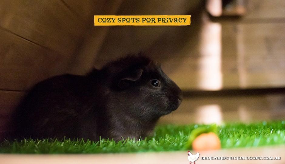 Guinea pig inside Piggy Pen guinea pig enclosure