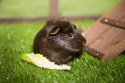 Guinea pig eating lettuce in hutch