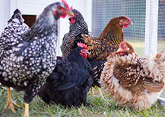 Frizzle, Wyandotte and Australorp chickens in Mansion backyard chicken coop