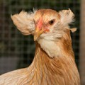 Araucana-chicken-with-mustache-in-coop-run