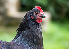 Australorp chicken looking right