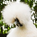 Fluffy silkie chicken head
