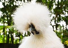 Fluffy silkie chicken head
