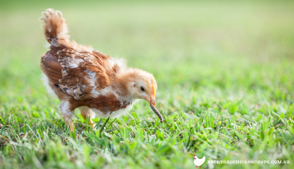 What to Feed Baby Chickens - From Day Olds to 8 Weeks