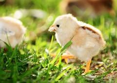 Baby chicken eating starter mash
