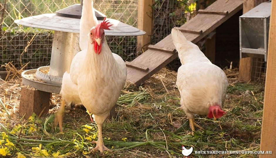 leghorn chickens foraging in chicken run
