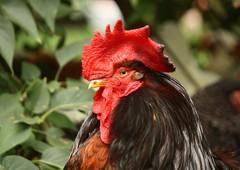 Smug rooster chicken