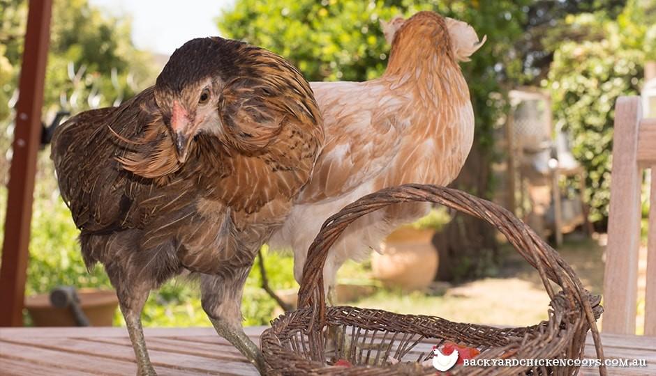 two-araucana-chickens