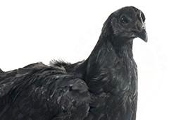 ayam-cemani-chicken