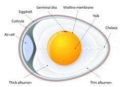 Diagram of a chicken egg
