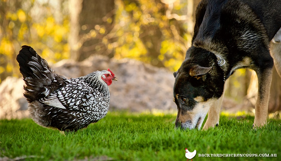 chickens and dogs can learn to get along, but a new dog is unlikely to behave calmly