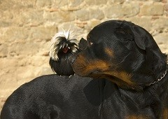 Rottweiler dog and frizzle chicken rooster