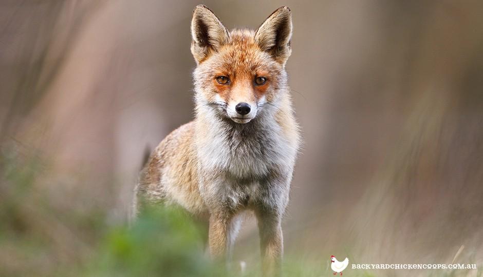 the fox is a fearsome chicken predator
