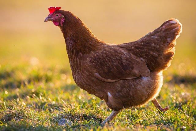isa brown chicken free ranging in backyard