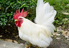 Bantam Leghorn rooster chicken
