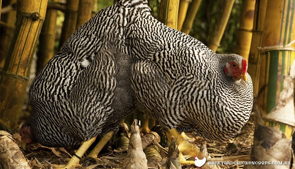barred-plymouth-rock-chickens-in-bamboo