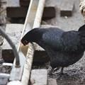 Black chicken drinking from trough water drinker