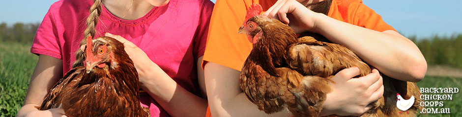 isa-browns-are-excellent-chickens-for-families