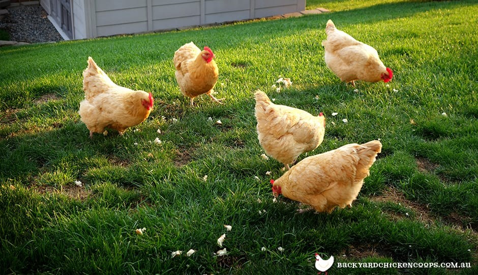 orpington-chickens-foraging