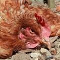 Sick chicken in backyard