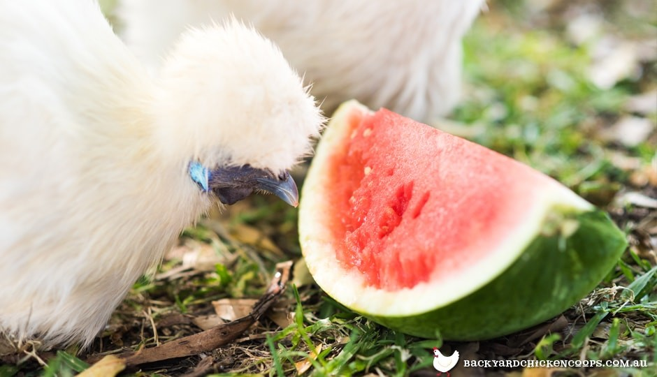 silkie-chicken-eating-watermelon-to-keep-cool