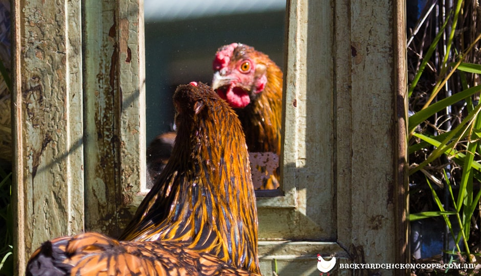 chicken looking intrigued by own reflection in the mirror