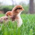 Baby chicks in backyard grass