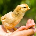 fluffy yellow baby chick in hand