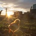 Baby chicken running around at sunrise