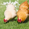 Backyard chickens foraging