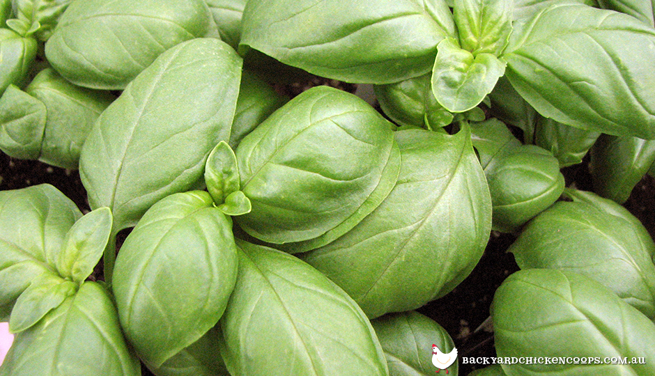 How basil can keep your chickens healthy - Tips planting herbs lovage parsley dill ...
