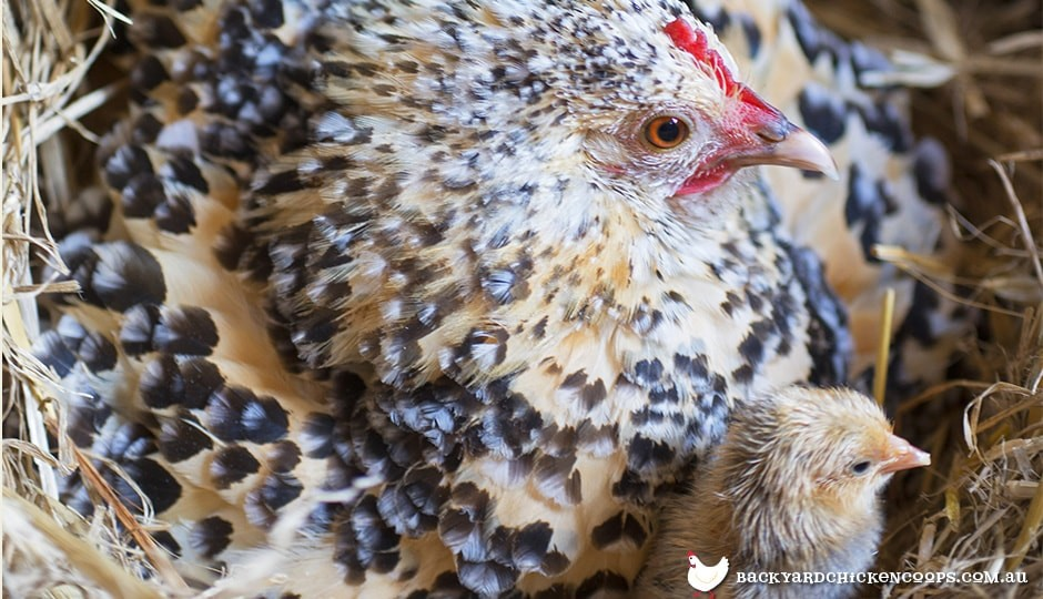 broody-blue-speckled-belgian-duccle-hen-with-baby-chick