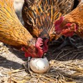 Welsummer chicken eating her own egg