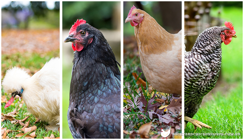 Different chicken breeds thrive in different sized backyards