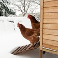 Chickens emerging from coop in winter
