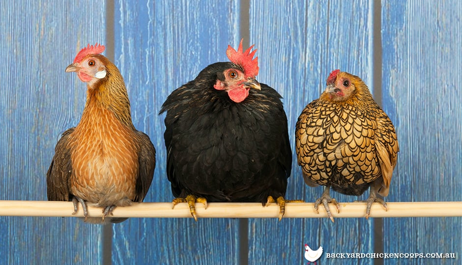 chickens-roost-to-sleep