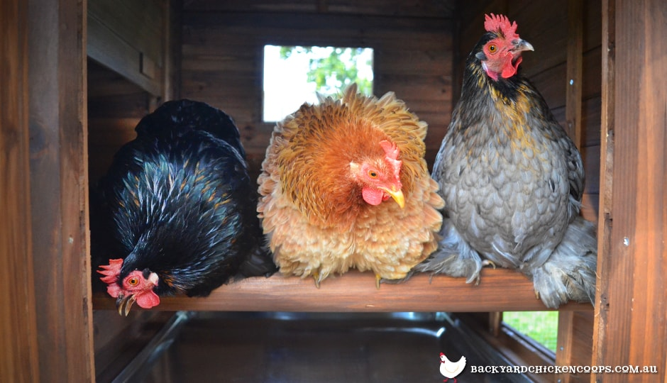 chickens roosting in a taj mahal backyard chicken coop