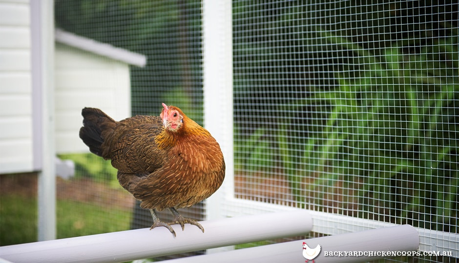 jungle fowl roosting in penthouse backyard chicken coop run