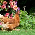 Plump Isa Brown chicken standing near some beautiful roses